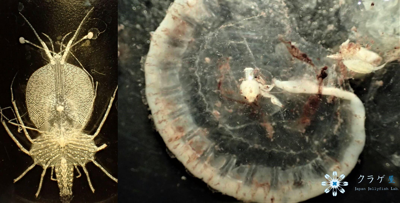 クラゲにしがみ付くメガロパ幼生とフィロソーマ幼生