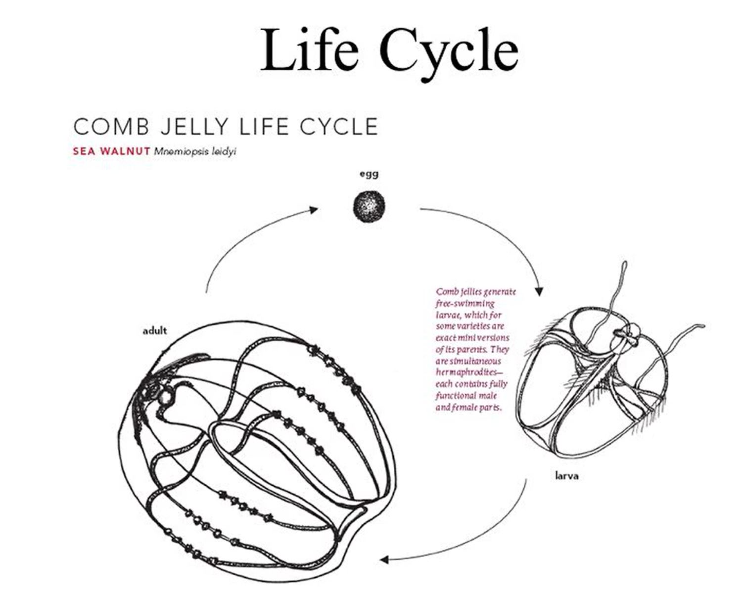 comb jelly life cycle